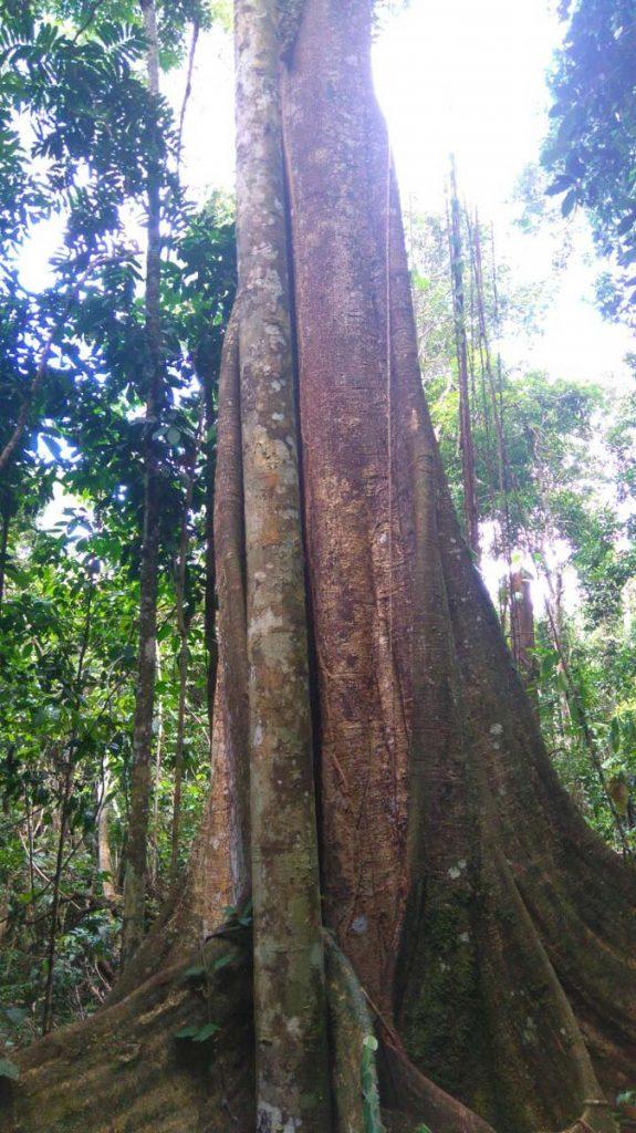 Giant Renaco Master tree. Photo: C. Hoyos.