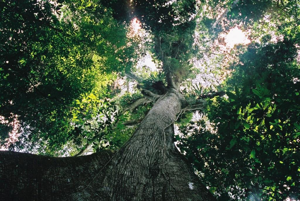 The white Lupuna teacher tree in the Amazon rainforest. Photo © El Mundo Magico 2000-2016