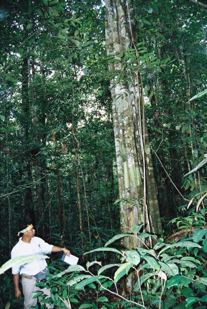 Remocaspi teacher tree in Puma Sacha rainforest Reserve - Photo: F. Sammarco