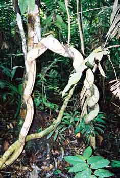 Jungle vines in the Amazon rainforest of Peru. Photo © El Mundo Magico 2000-2016