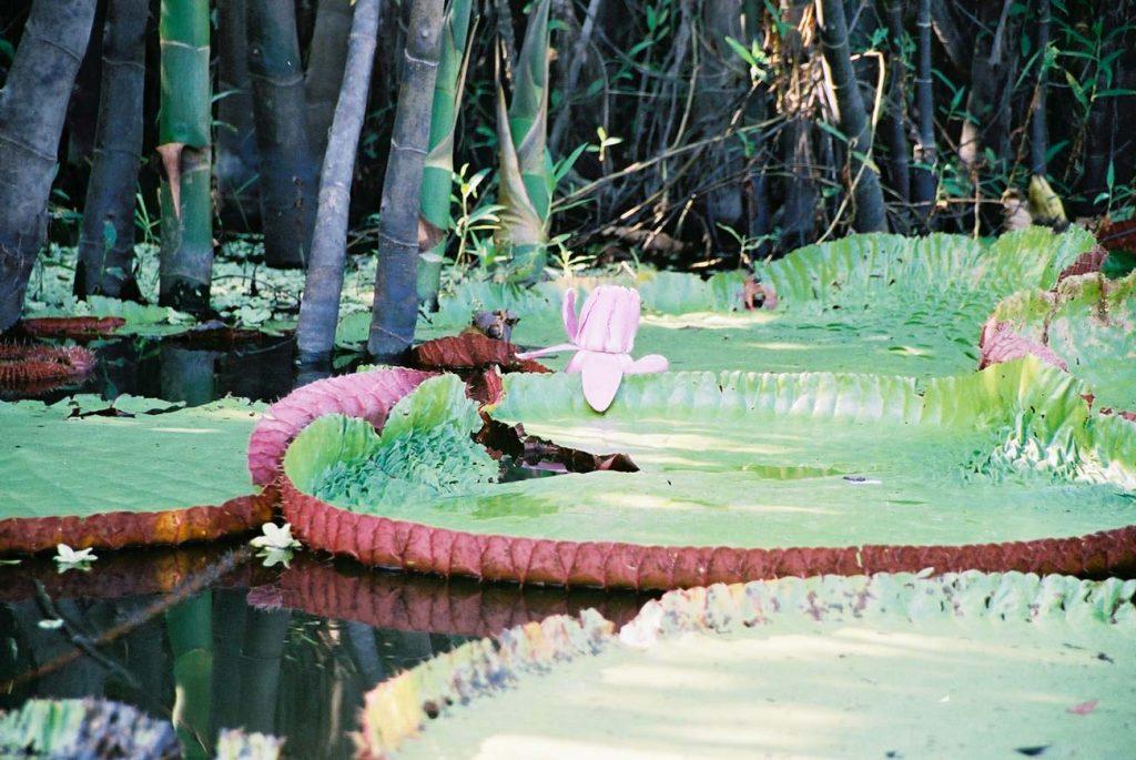 Amazonian giant water-lilies. Photo: F. Sammarco