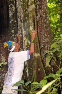 Don Sixto offering Mapacho smoke to a giant Renaco teacher tree. Photo: C. Hoyos.
