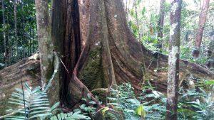 The giant Renaco teacher tree. Photo: C. Hoyos.
