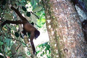Monkey in the Amazon jungle. Photo: F. Sammarco