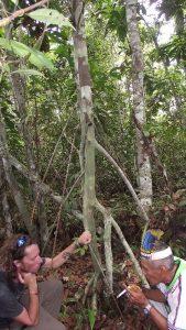 """Preparing"" with icaros and Mapacho smoke the Camalonga tea to be drunk, in front of a Chullachaki caspi teacher tree. Photo courtesy: C. Hoyos"