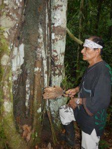 Master shaman Don Guido, by a Renaco Renaquilla teacher tree.