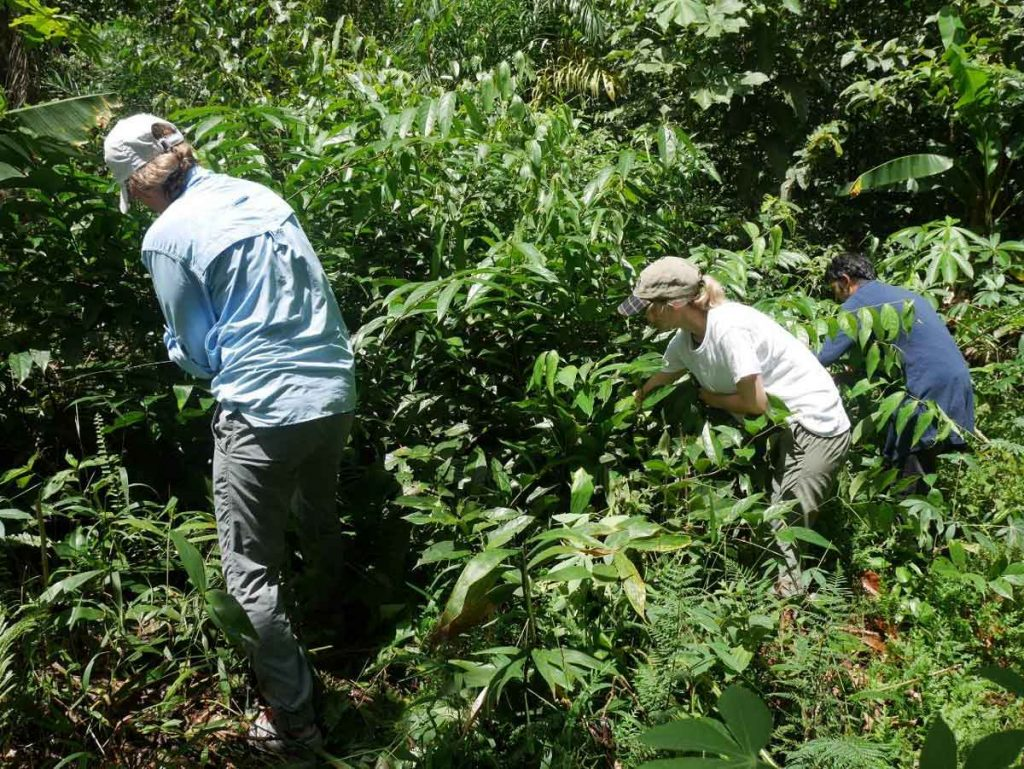 Harvesting-Chaliponga-(Diplopterys-cabrerana)-in-the-jungle-in-preparation-of-the-Ayahuasca-brew