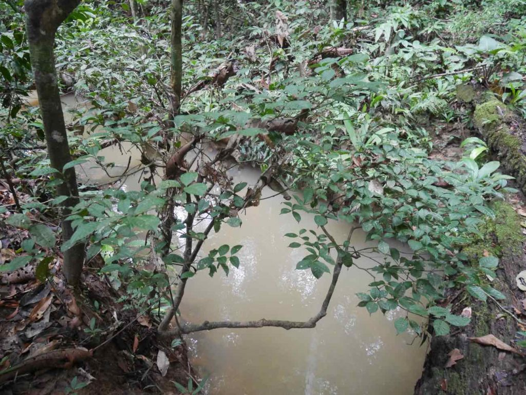 The powerful Puma chacruna plant teacher, growing by a jungle stream in the rainforest