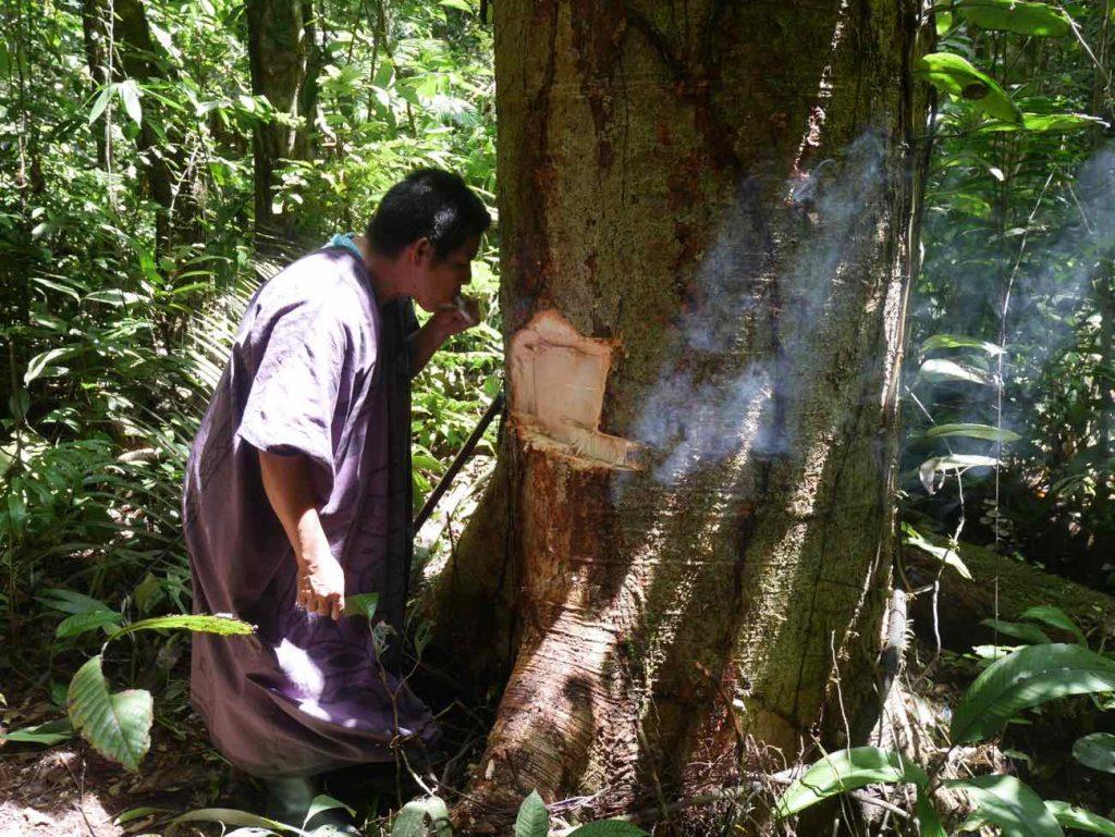 Don Armando harvesting master trees bark in the jungle