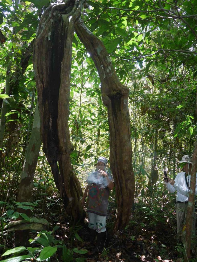 Giant Suni ayahuasca vine, growing wild in the jungle surrounding our retreat centre in the Amazon rainforest of Peru, near Iquitos