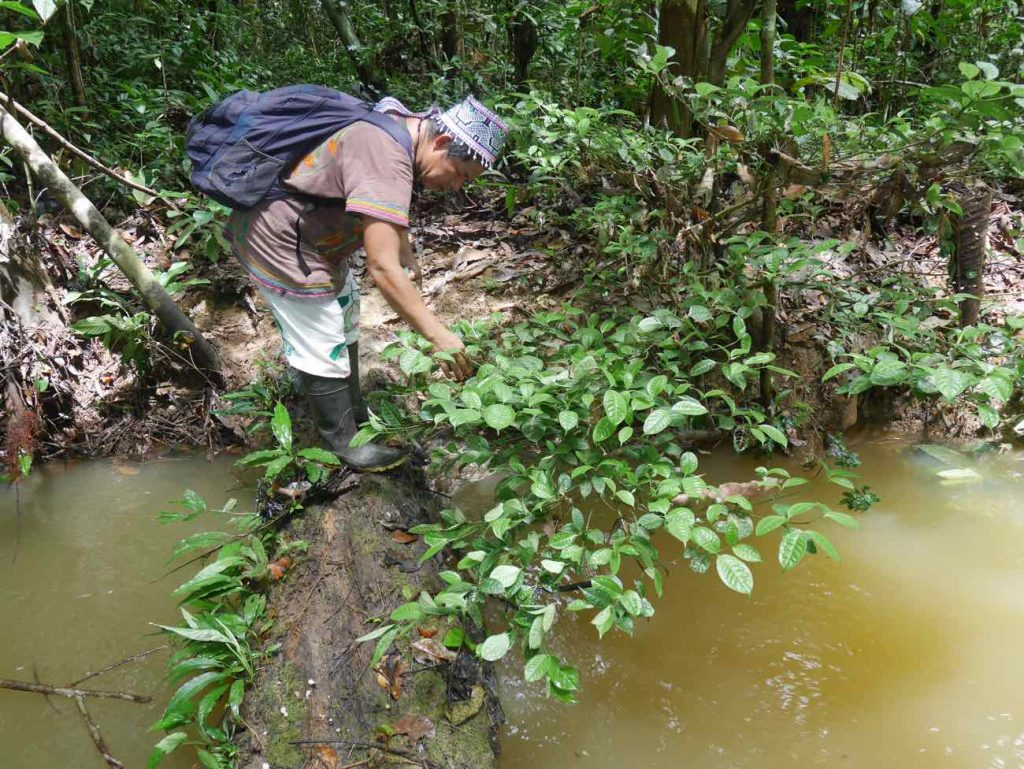 Don Armando harvesting the leaves of the powerful Puma chacruna plant to use as admixture to the Ayahuasca brew